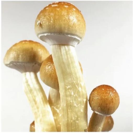 buy golden teacher mushrooms online